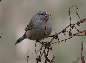 Plain-colored-Seedeater.jpg