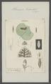 Planaria torva - - Print - Iconographia Zoologica - Special Collections University of Amsterdam - UBAINV0274 105 09 0028.tif