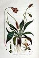 Plantago lanceolata — Flora Batava — Volume v1.jpg