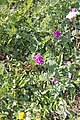 Plants am Rufikopf 06.JPG