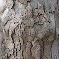 Platane, sycamore tree - panoramio (3).jpg