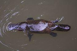 Platypus-Eungella.jpg