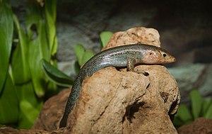 Bermuda rock skink - Image: Plestiodon longirostris