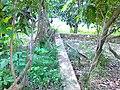 Pohon Jambu Karantukul - panoramio.jpg