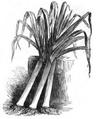Poireau long d'hiver de Paris Vilmorin-Andrieux 1883.png