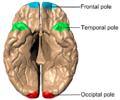 Poles of cerebral hemispheres (en) - inferiror view.png