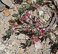 Polygonum shastense pink branch.jpg