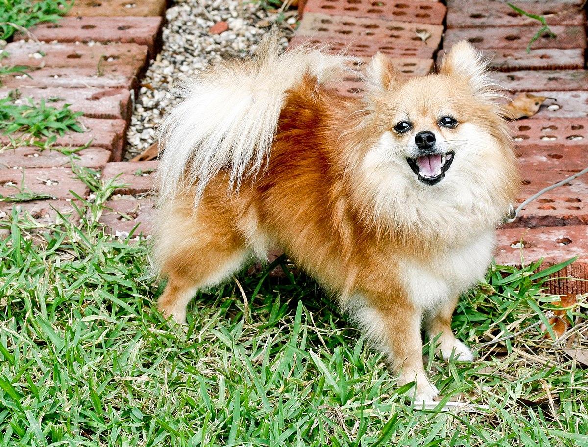 Pomeranian dog standing.jpg