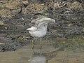 Pond heron 03.jpg