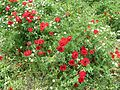 Poppies in Kfar Nin, Israel 15.jpg