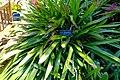 Portea petropolitana - Marie Selby Botanical Gardens - Sarasota, Florida - DSC01688.jpg