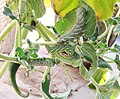 Proboscidea parviflora - pests. hornworm infestation.jpg