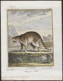 Procyon lotor - 1700-1880 - Print - Iconographia Zoologica - Special Collections University of Amsterdam - UBA01 IZ22600125.tif
