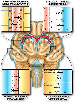 Blood–brain barrier - Blood and CSF brain barriers