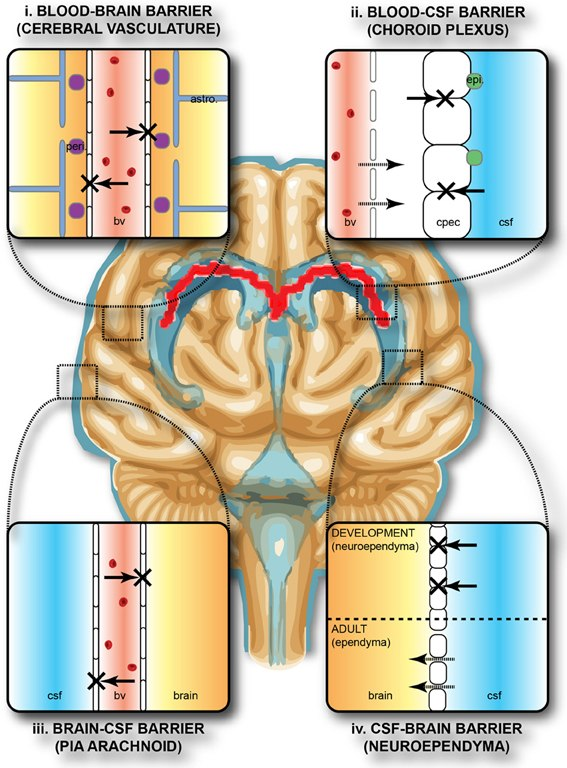Protective barriers of the brain