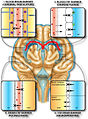 Protective barriers of the brain.jpg