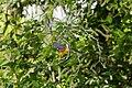 Prothonotary warbler (19570043719).jpg