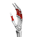 Proximal phalanges of the hand (left hand) 03 ulnar view.png