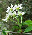Prunus mahaleb inflorescence16.jpg