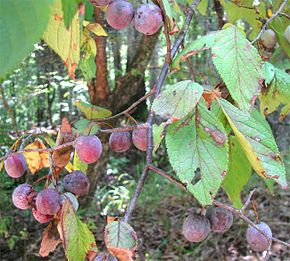 Description de l'image Prunus mexicana-fruits-leaves.jpg.