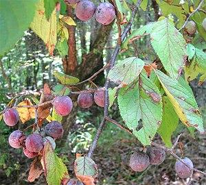 Prunus mexicana - Image: Prunus mexicana fruits leaves
