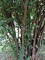 Prunus mume - Kunming Botanical Garden - DSC02921.JPG