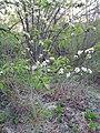 Prunus sp. (Rosaceae) 01.jpg