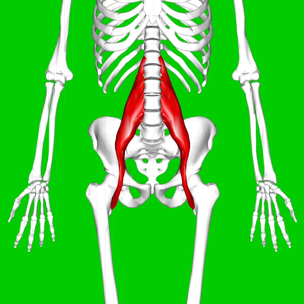 psoas major muscle - wikipedia, Human Body