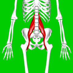 File:Psoas_major_muscle11.png