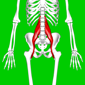 Psoas major muscle11.png