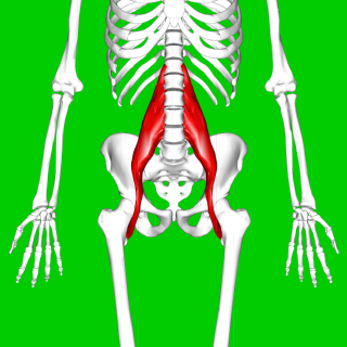Psoas major muscle long fusiform muscle located on the side of the lumbar region of the vertebral column and brim of the lesser pelvis