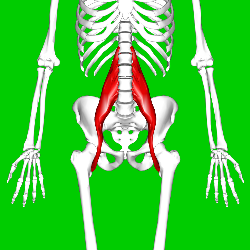 Psoas major muscle - Howling Pixel