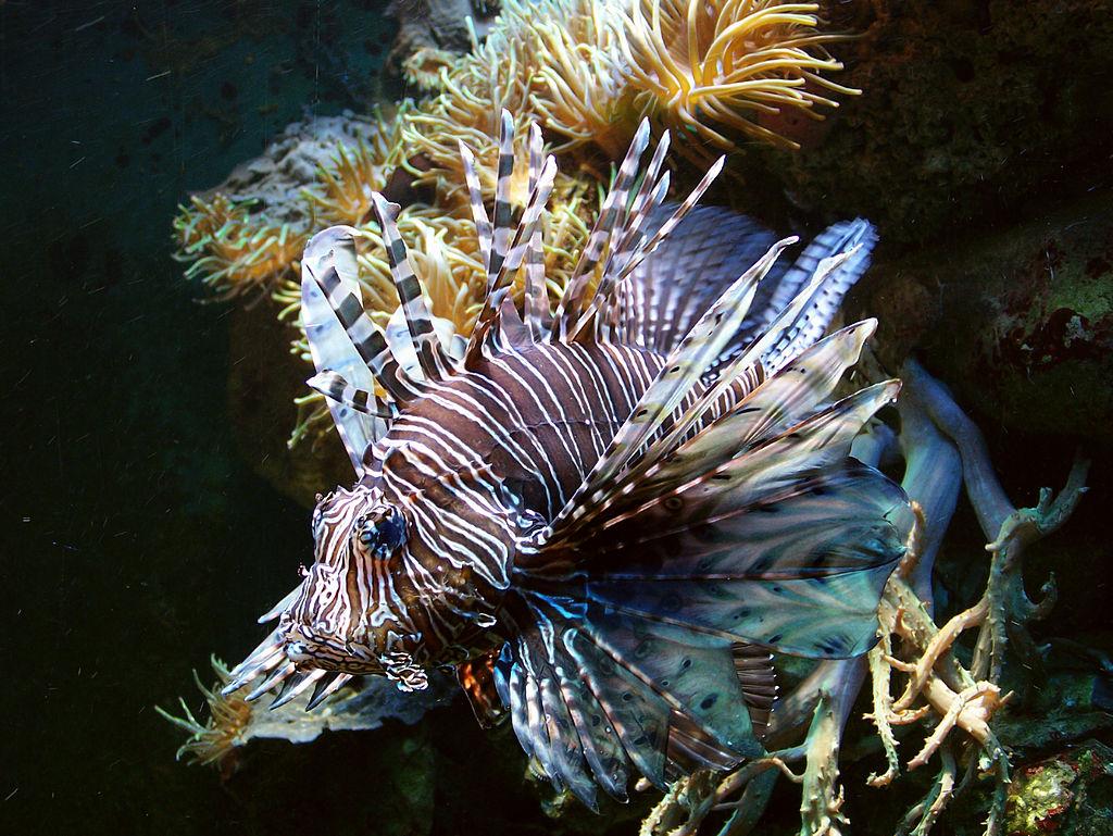Pterois volitans - red lionfish.jpg