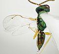 Pteromalus puparum. Chalcid Wasp. (taken by Martin Cooper) - Flickr - gailhampshire.jpg