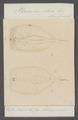 Pterosoma plana - - Print - Iconographia Zoologica - Special Collections University of Amsterdam - UBAINV0274 080 12 0023.tif