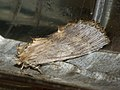 Pterostoma palpina - Pale prominent - Остроголовка (26267390777).jpg
