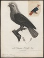 Ptilinopus nitidissimus - 1796-1808 - Print - Iconographia Zoologica - Special Collections University of Amsterdam - UBA01 IZ15600085.tif