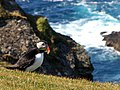 Puffin at Hermaness - geograph.org.uk - 1302236.jpg