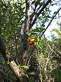 Punica granatum 'flore plene' - Jardin d'Éden 2.JPG
