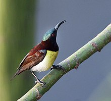 Purple-rumped Sunbird (Leptocoma zeylonica)- Male at Kolkata I IMG 1808.jpg
