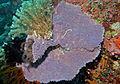 Purple Sponge (Dysidea ?) (8481594294).jpg