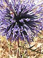 Purple thorns.jpg