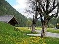 Pusteblume, Taraxacum officinale, Löwenzahn und bemooste Bäume im Tal von Meiringen zur grossen Scheidegg - panoramio.jpg