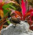 Pycnonotus jocosus -Kowloon City-8.jpg