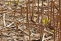 Pycnonotus xanthorrhous (8631983298).jpg