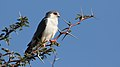 Pygmy falcon, or African pygmy falcon, Polihierax semitorquatus, at Kgalagadi Transfrontier Park, Northern Cape, South Africa. (34128949840).jpg