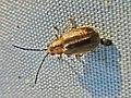 Pyrrhalta viburni (Viburnum leaf beetle), Elst (Gld), the Netherlands.jpg