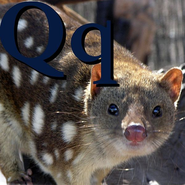 Файл:Q is for Quoll.jpg