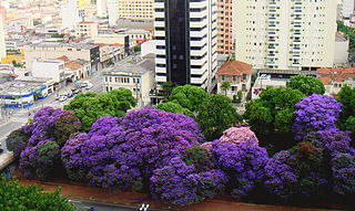 <i>Tibouchina granulosa</i> Brazilian evergreen tree