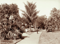 Queensland State Archives 2278 Pathway at Botanic Gardens Brisbane 1897.png